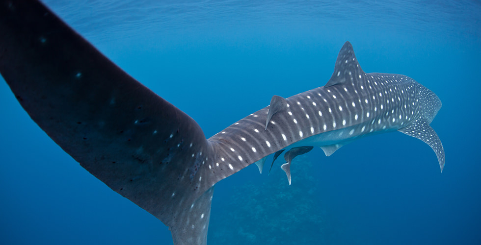 The tail of a whale shark