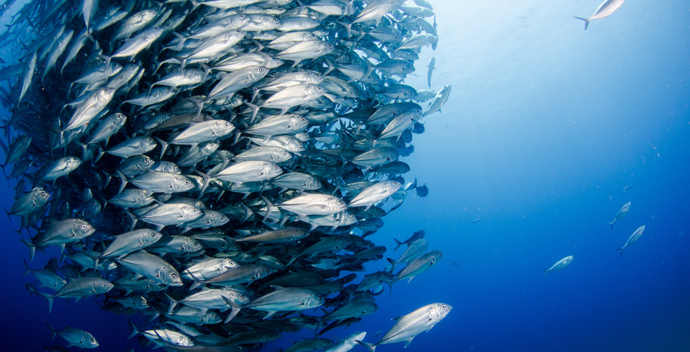 A school of Jackfish at Amos Rock
