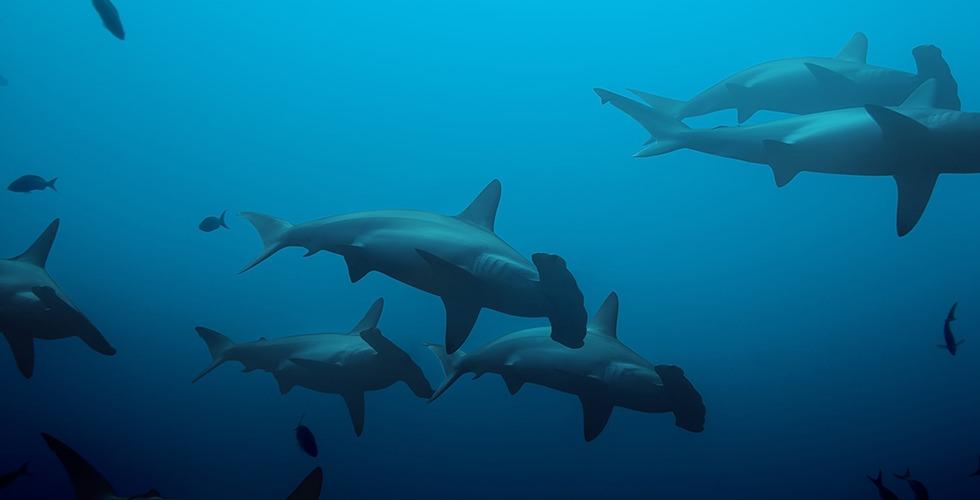 Schooling Hammerhead sharks in Baja Alcyone