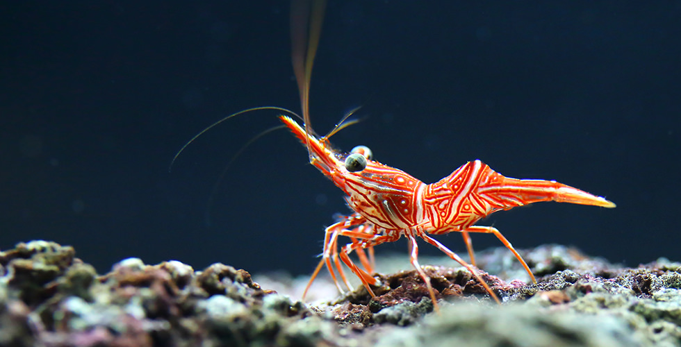 A shrimp in Thaiti