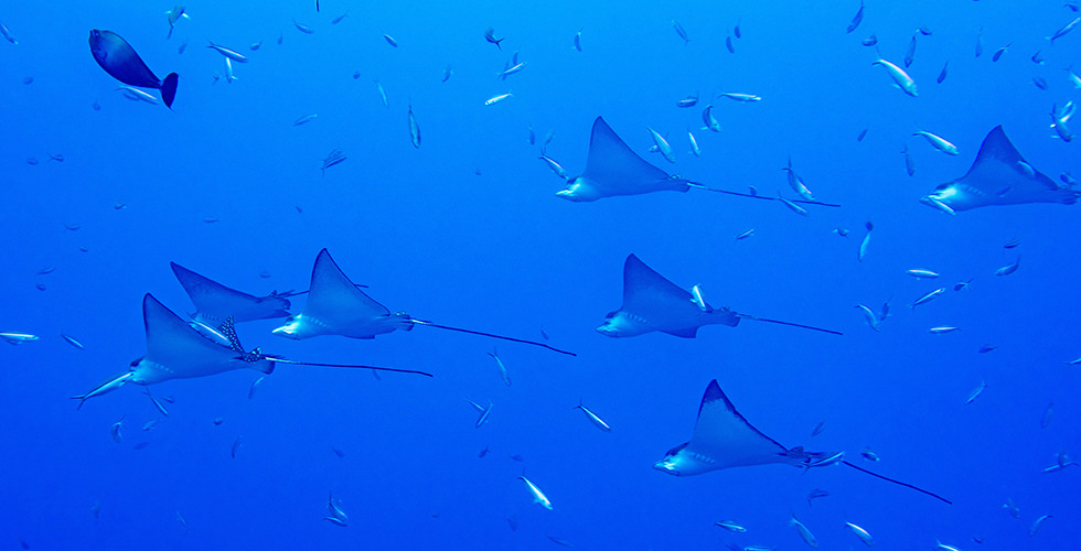 Schooling Eagle Rays at the Blue Corner