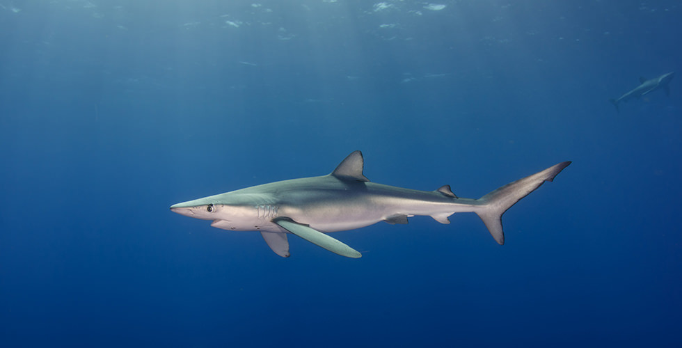 A Blue Shark in the Azores