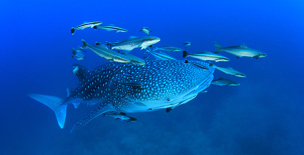 One of the whale sharks you can find at Darwin's Arch