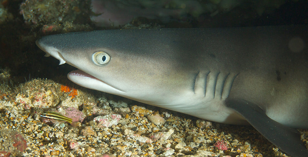 A whitetip reef shark at Manuelita Shallows