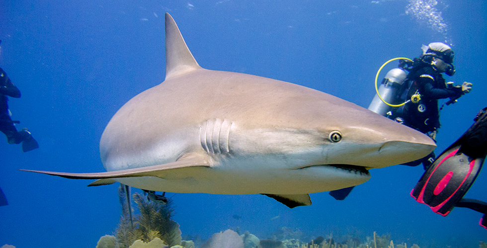 One of the many Caribbean Reef Sharks of Pipí