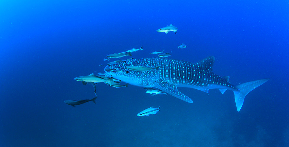 One of the Whale Sharks of Richelieu Rock
