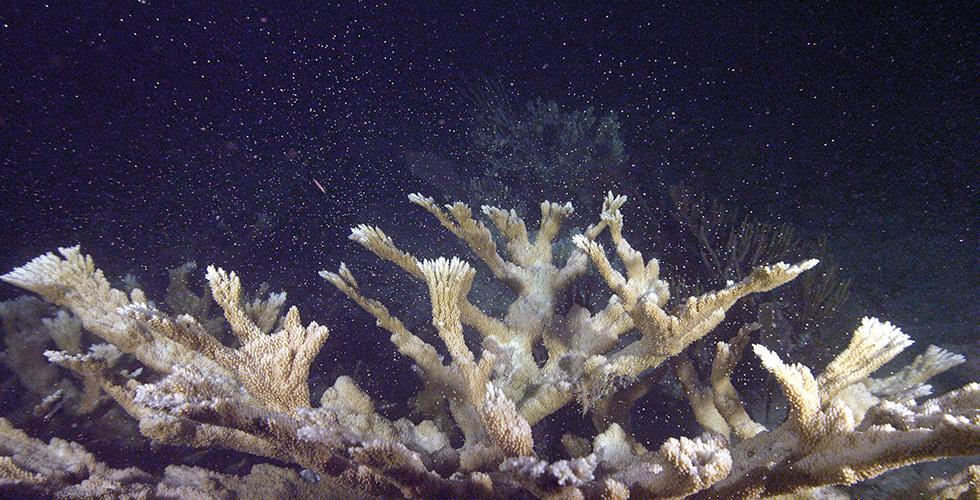 Elkhorn coral spawning
