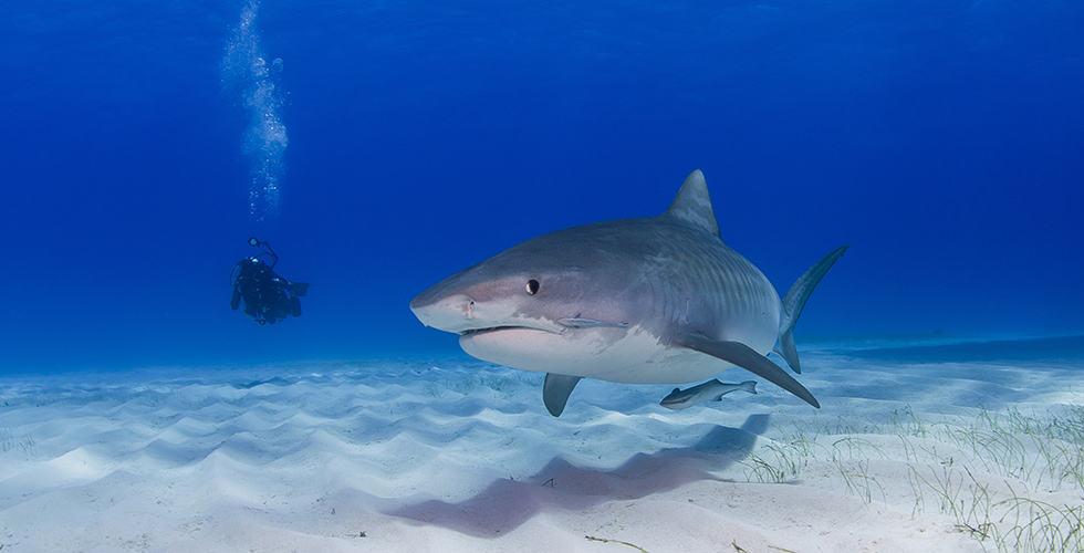 A lonely Tiger Shark at Tiger Beach