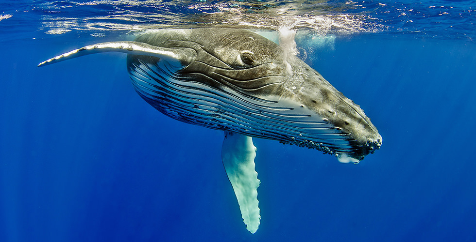 Humpback Whales - The World's Best Places for Whale ...