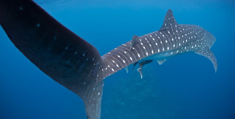 Whale Shark Expedition with the Marine Wildlife Watch of the