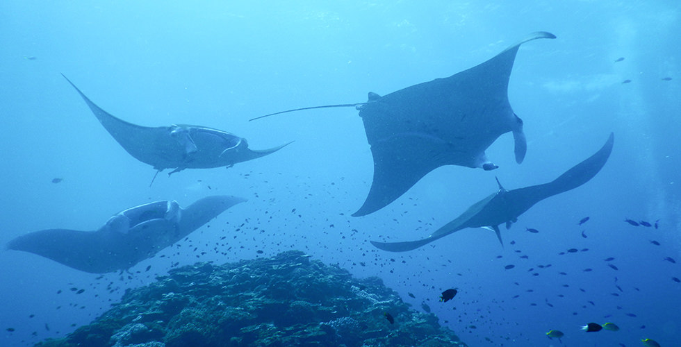 Manta rays swimming neat the top of the thila