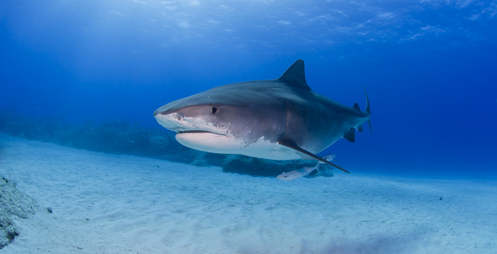 Shark Experience in the Bahamas with the Bimini SharkLab
