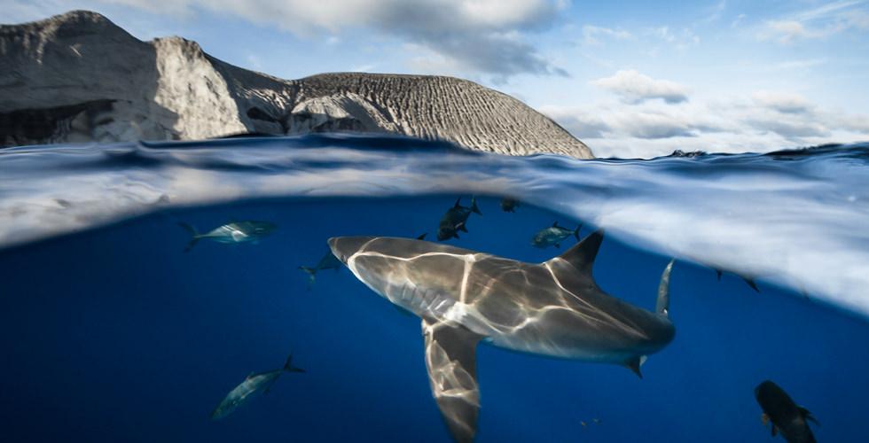 shark in San Benedicto