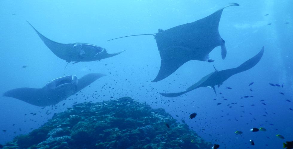 Maldivian manta rays