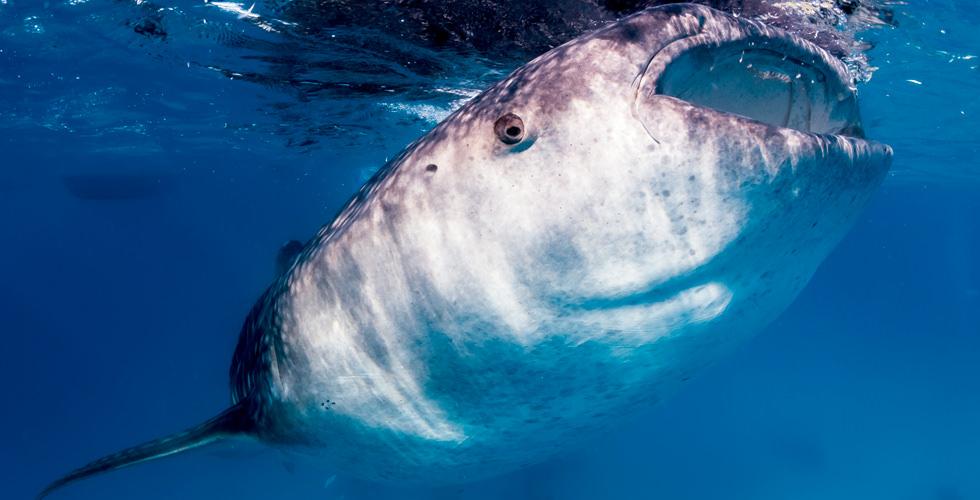 whale-shark-djibouti