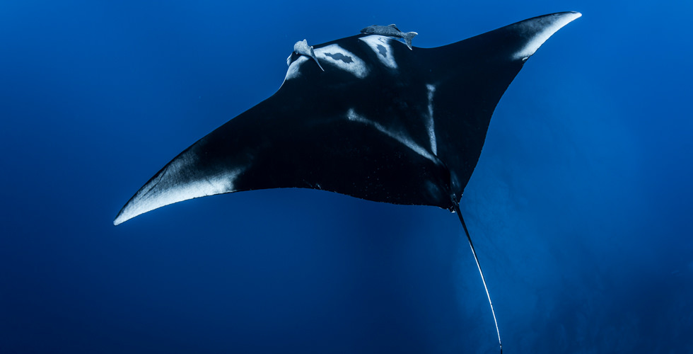 Swimming with giant manta ray