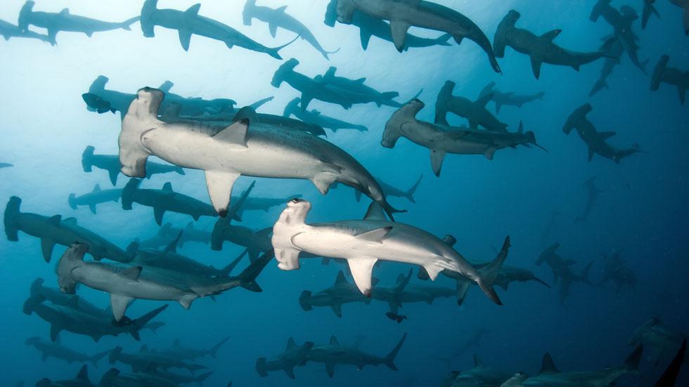 Schooling hammerhead sharks in Malpelo