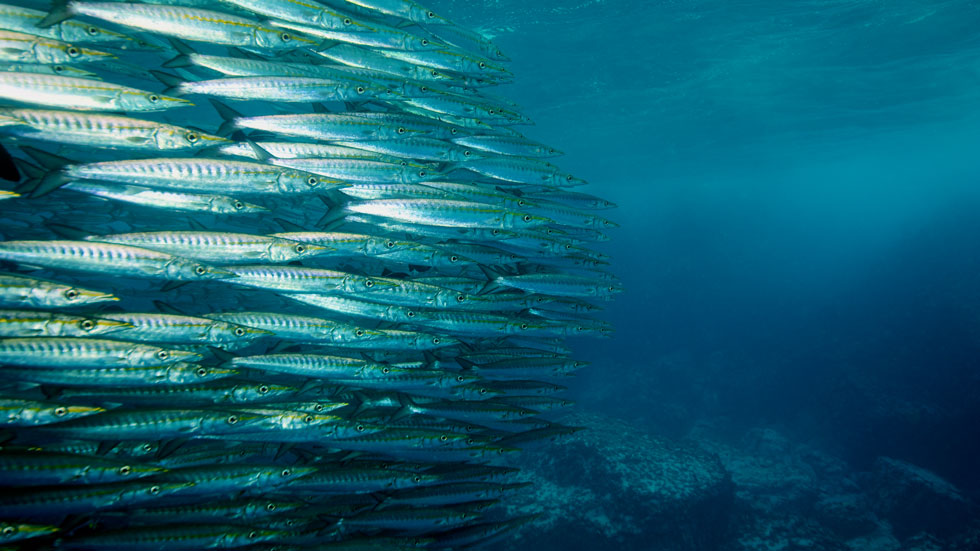 A school of fish in Malpelo